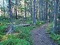 Itusågat träd längs vandringsled.jpg