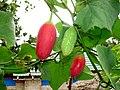 Ivy gourd (Coccinia grandis) fruits.jpg