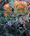 J20171026-0005—Castilleja latifolia—RPBG (38194194452).jpg