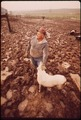 JOHN DOLEZAL IN MUDDY SHEEP-PEN OF HIS FARM NEAR BEE NEBRASKA. TWICE NORMAL RAINFALL FOR THIS YEAR HAS GREATLY... - NARA - 547326.tif