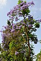 Jacaranda mimosifolia Blue Jacaranda პალისანდრის ხე (2).JPG