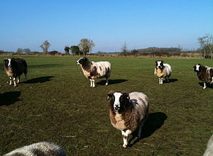 Jacob sheep - At pasture near Ashley in Gloucestershire