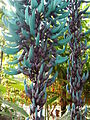 Jade vine (Strongylodon macrobotrys) in Cameron Highlands, Pahang, Malaysia.JPG
