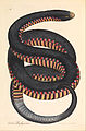 James Sowerby - Crimson-sided Snake, Coluber porphyriacus - Google Art Project.jpg