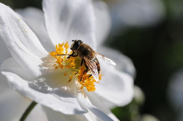 ficheiro japanische herbst anemone anemone hupehensis var japonica 6 jpg wikip dia a. Black Bedroom Furniture Sets. Home Design Ideas