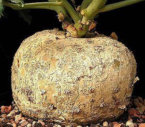 Caudex - The caudex of Jatropha cathartica is pachycaul, with thickening that provides water storage.