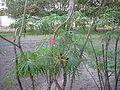 Jatropha multifida 0005.jpg