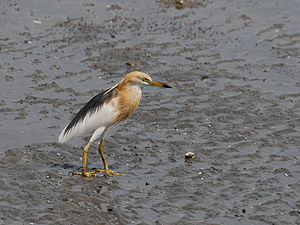 Java Pond Heron 3185.jpg