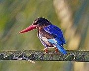 Javan Kingfisher (Halcyon cyanoventris).jpg