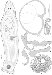 <i>Pseudorhabdosynochus oliveri</i> species of worm