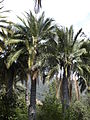 Jubaea chilensis (scott.zona) 007.jpg