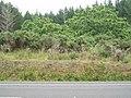 Juglans ailantifolia Carrière (AM AK304090-5).jpg