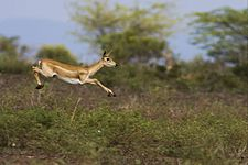 Jumping Blackbuck, Female.jpg
