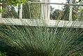 Juncus polyanthemus 0zz.jpg