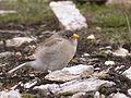 Junger Schneefink (Montifringilla nivalis), Fuscher Törl, Nationalpark Hohe Tauern, Salzburg, Österreich.jpg