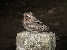 Jungle nightjar DM 0309 (cropped).jpg