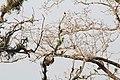 Jungle parrots on tree.jpg