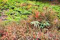 Juniperus-Helleborus-Berberis shrubland, Corsica.jpg