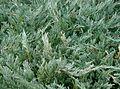 Juniperus chinensis5.jpg