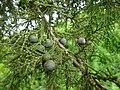 Juniperus procera cones.JPG