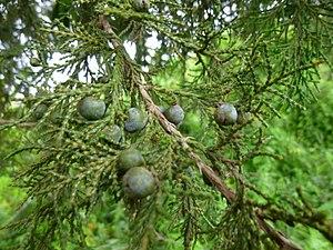 Juniperus procera - Image: Juniperus procera cones