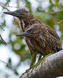 Juvenile Striated Herons.jpg