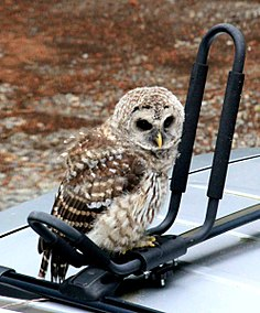 Juvenile barred owl 2 crop.jpg