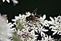 Köln, Nordrhein-Westfalen, Biene auf Blühten entlang des Flehbachs -- 2011 -- Tiere jpg.jpg