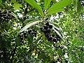 Karayemiş-meyve-2.JPG