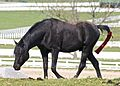 Kentucky Horse Park - Black Arabian.jpg