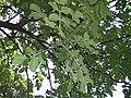 Kigelia africana (天問) 001.jpg