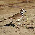 Killdeer (5399242904).jpg