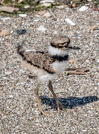 Brooks Island Regional Preserve - A killdeer chick on the sandspit west of the main island