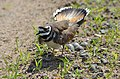 Killdeer Protecting Her Nest (27946793277).jpg