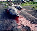 Killed pilot wales, faroe islands.jpg