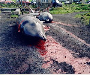 Dolphin drive hunting - Two dead Northern Bottlenose Whales with cut necks in the bay of Nes (Hvalba) on the Faroe Islands, where they beached themselves.