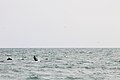 Kitesurfer and Dolphins2.jpg