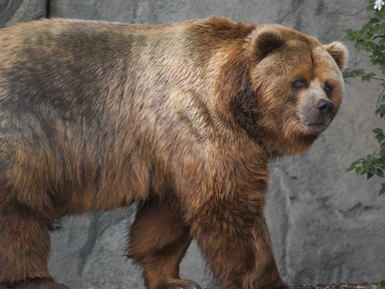 File:Kodiak Bear In Germany.jpg