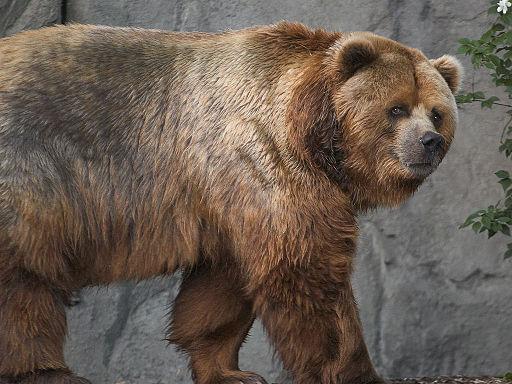 Kodiak bear in germany