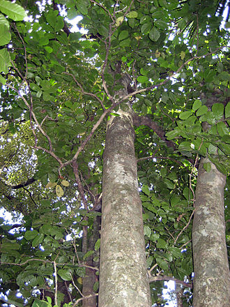 Kohekohe - Kohekohe (Dysoxylum spectabile)