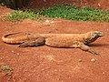 Komodo dragon Varanus komodoensis Ragunan Zoo 2.JPG