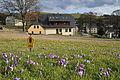 Krokusblüte Drebach. Flächen-Naturdenkmal...IMG 1684WI.JPG