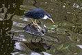 Kuranda Pied Heron looking at reflection-1 (8259733692).jpg