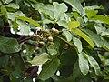 Lac tree (3665772180).jpg