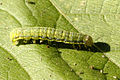 Lacanobia oleracea caterpillar.jpg