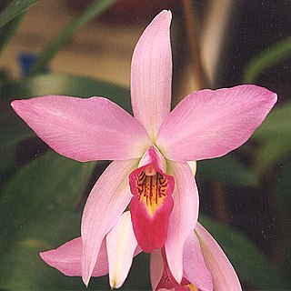 <i>Laelia</i> genus of plants