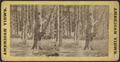 Lake George. (View of forest.), from Robert N. Dennis collection of stereoscopic views.png