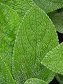 Lamb's Ear Stachys byzantina Leaf 2448px.jpg
