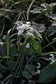 Lamier blanc-Lamium album-20121128.jpg