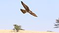 Lanner falcon, Falco biarmicus, at Kgalagadi Transfrontier Park, Northern Cape, South Africa (33767245233).jpg